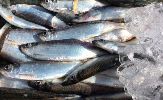 whole herring